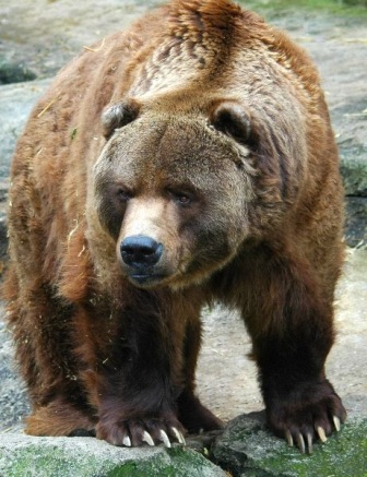 Oso grizzli » OSOPEDIA