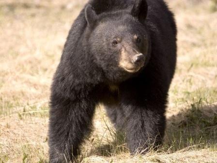 oso negro americano