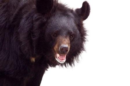 oso negro asiatico
