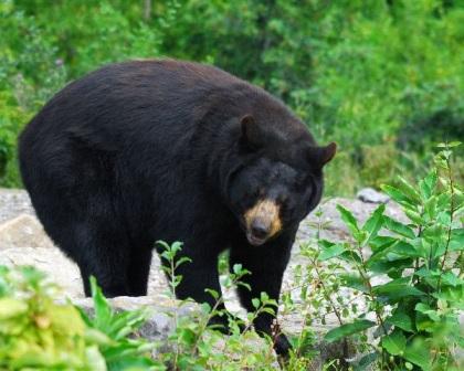 oso en su habitat