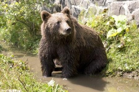 oso en zanja