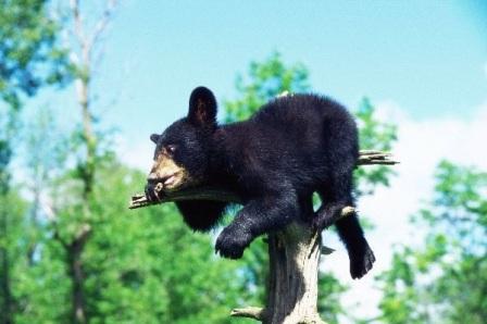 oso en arbol