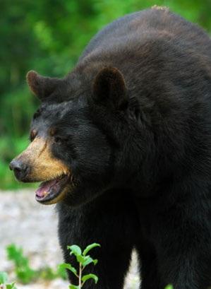 oso boca abierta