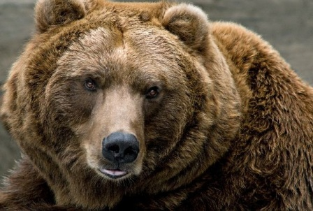 oso marron