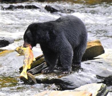 oso negro pescando