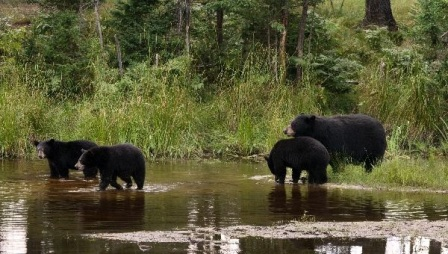 osos negros americanos