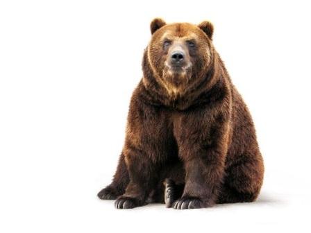oso pardo 1