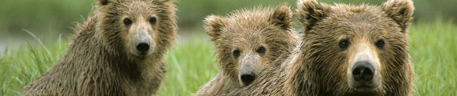 Caractersticas de los osos  OSOPEDIA