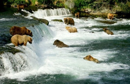 osos grizzlis