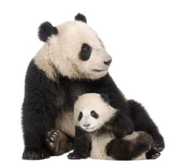 Oso panda gigante » OSOPEDIA