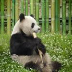 oso panda gigante