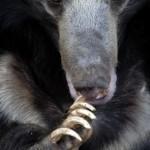 oso labiado o perezoso