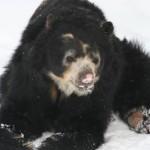 oso de anteojos de frente