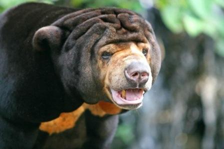 oso malayo de frente